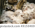 Image of hamster is sleeping together. Pet. 49150469