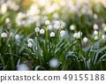 white spring flowers snowflake Leucojum 49155188