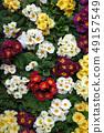 Colorful flowers of Primrose (Primula). 49157549