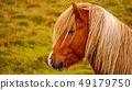 Portrait of Icelandic horse close up shot. Iceland 49179750