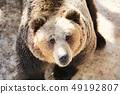 갈색 곰 (노보리베츠 곰 목장) 49192807
