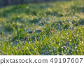 Fresh grass with dew drops 49197607