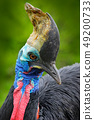 Detail portrait of Southern cassowary 49200733