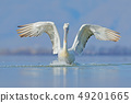 Dalmatian pelican with open wing on the lake 49201665