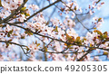 Spring apple tree flowers in blossom, the bloom in warm sun light on blue sky background. 49205305