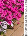 Petunia Ashikaga Flower Park Tochigi Japan 49211768