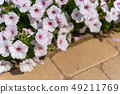 Petunia Ashikaga Flower Park Tochigi Japan 49211769