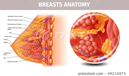 Highly Detailed View of Healthy Female Breast 49214973