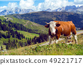 italian  cows on a pasture 49221717