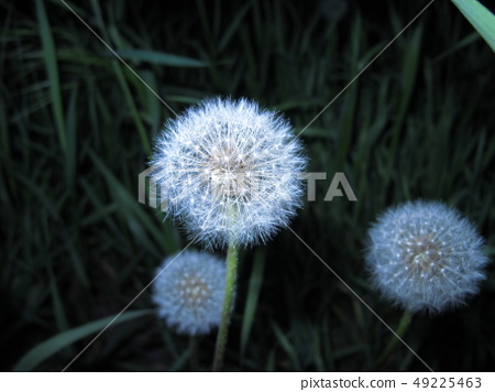 Dandelions close up on a dark background with 49225463