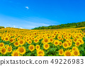 Sannokura plateau sunflower of summer 49226983