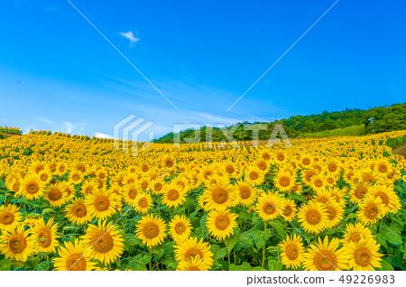 夏天的Sannokura高原向日葵 49226983