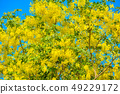 Cassia fistula, known as golden rain tree 49229172