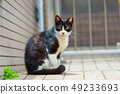Angry black and white cat with half closed eyes 49233693