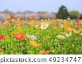 Cherry blossoms and colorful poppies 49234747