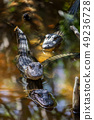 Wild Alligators in a Florida Mangrove Swamp 49236728