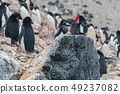 Adelie Penguins on Paulet Island 49237082