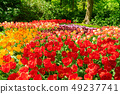 Rows of tulip flowers 49237741