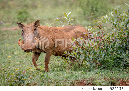 Female Warthog walking in the grass. 49251584