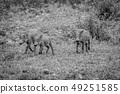 野生生物 动物 野猪 49251585