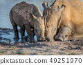 Mother White rhino with a baby calf. 49251970