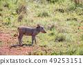 野生生物 动物 野猪 49253151