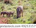野生生物 动物 野猪 49253157
