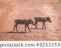 野生生物 动物 野猪 49253159