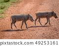 野生生物 动物 野猪 49253161