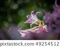 Close up of a Belladonna lily. 49254512