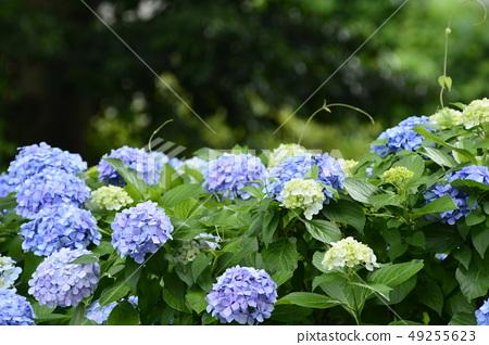 Blue Hydrangea macrophylla 49255623