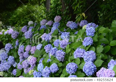Blue Hydrangea macrophylla 49255624