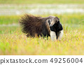 Anteater, cute animal from Brazil. 49256004