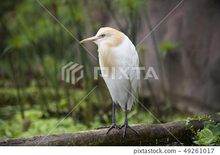 黃頭鷺 49261017