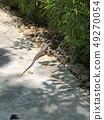 鬣蜥 49270054