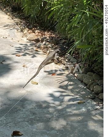 iguana 49270054