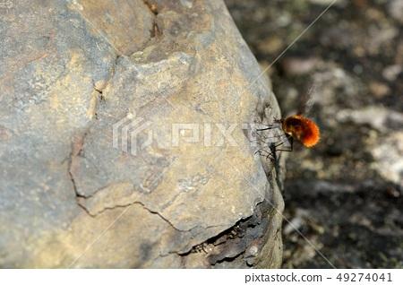 蜂虻(Bombyliidae)安蜂虻 49274041
