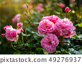 Beautiful pink rose on the rose garden in summer 49276937