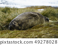 바다 코끼리의 아이 사우스 조지아 섬 남쪽의 왕 호 콘 베이 49278028