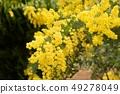 Beautiful mimosa flowers in the garden 49278049