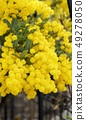 Beautiful mimosa flowers in the garden 49278050