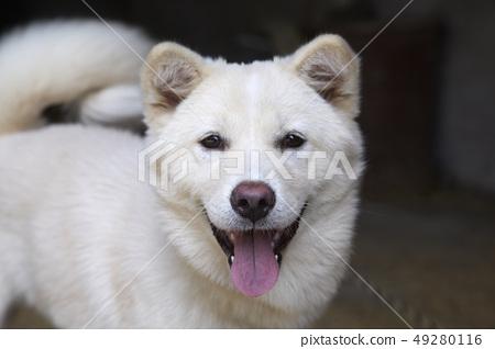 微笑的珍島犬, 49280116