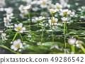 Mei flower algae 49286542