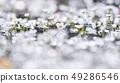 Mei flower algae 49286546