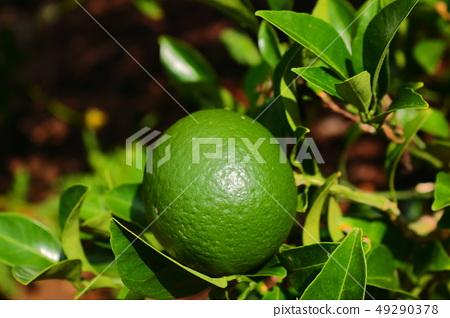 감귤,과일,농촌, 49290378