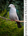 Blue-tailed Imperial-pigeon, Ducula concinna 49293149