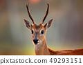 Portrait of Pampas Deer, Ozotoceros bezoarticus 49293151