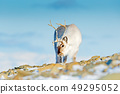 Landscape with reindeer. Winter Svalbard deer 49295052