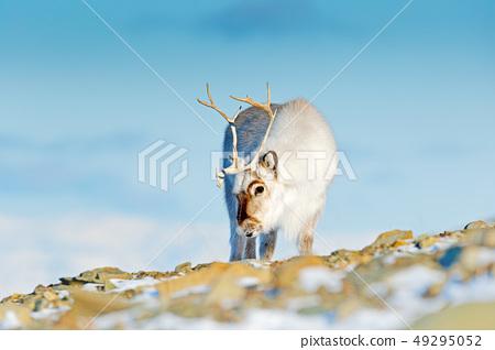 Landscape with reindeer. Winter Svalbard deer 49295052