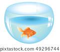 Gold Fish in Aquarium 49296744